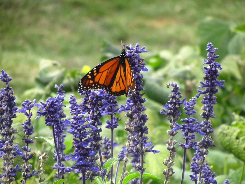 monarch - monarch