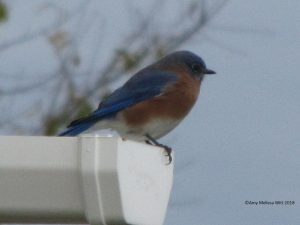 bluebird2 300x225 - Gardening is for the Birds!