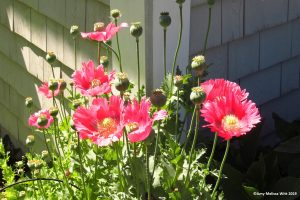 poppies 300x200 - Contact