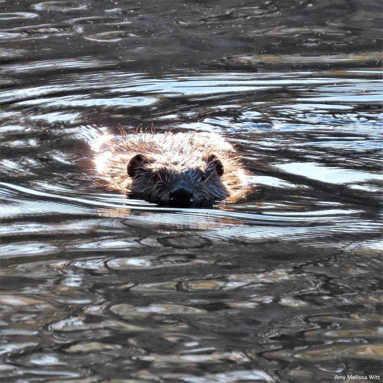 beaver 2 768x768 - beaver 2