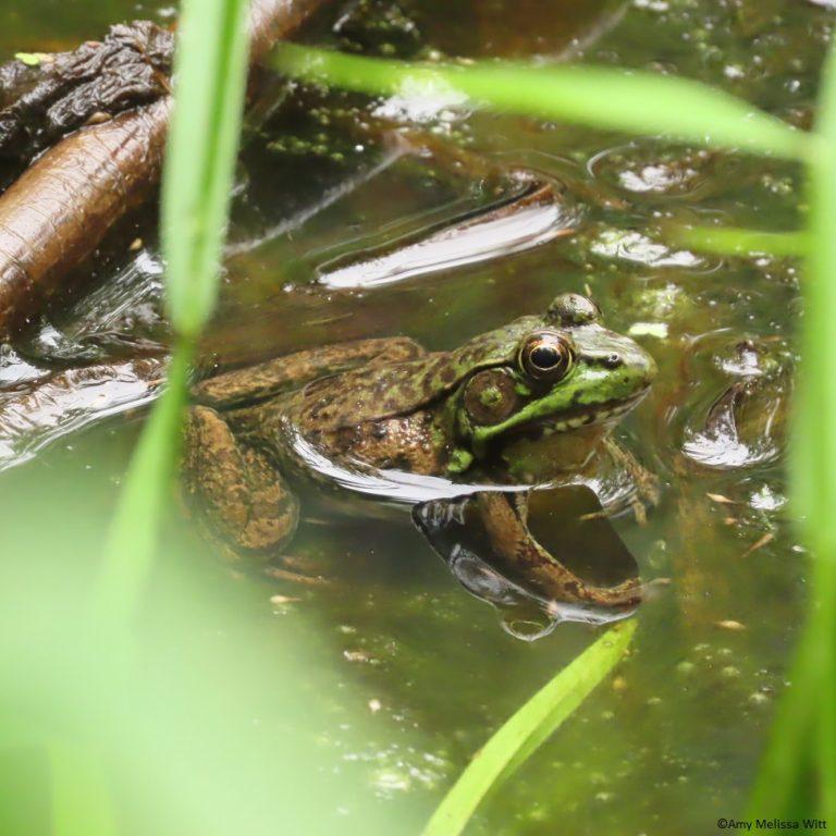 bullfrog 768x768 - bullfrog