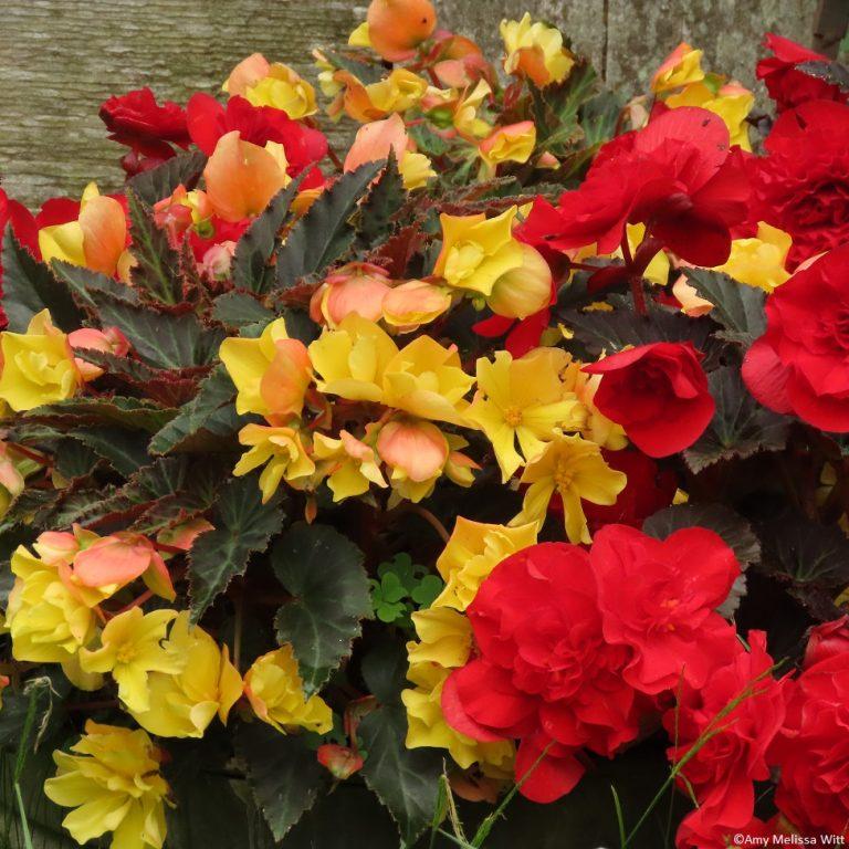 begonias 768x768 - begonias
