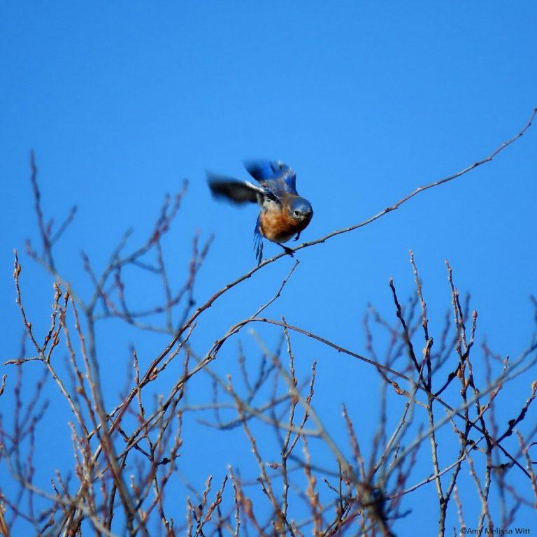 bluebird in flight2 768x768 - bluebird in flight2